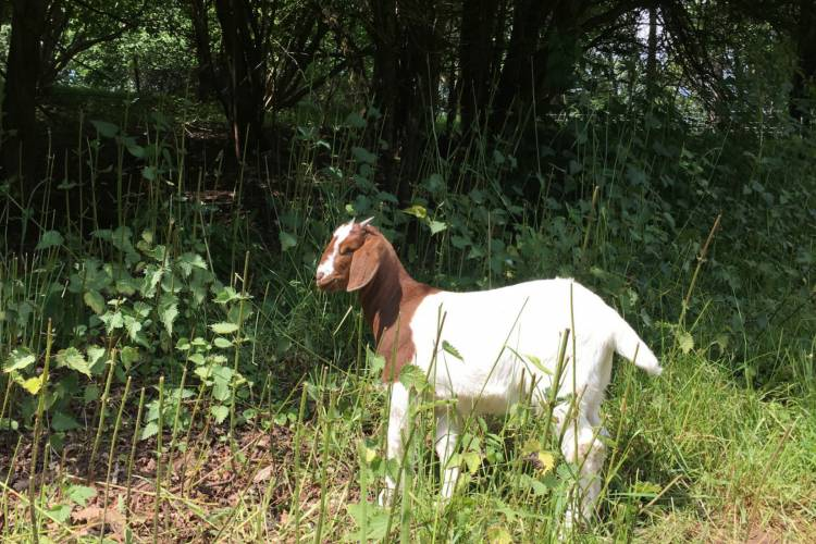Boer Meat Does, Wethers for sale in Rochester | SellMyLivestock