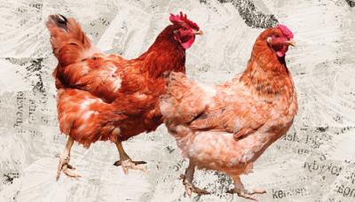 Web p21 chickens istock 93077565