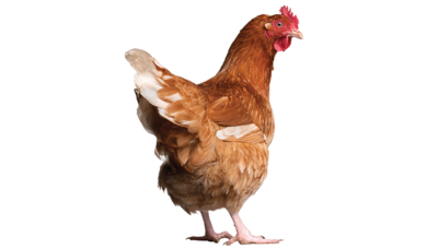 Web p31 chicken retouched istock 93217355