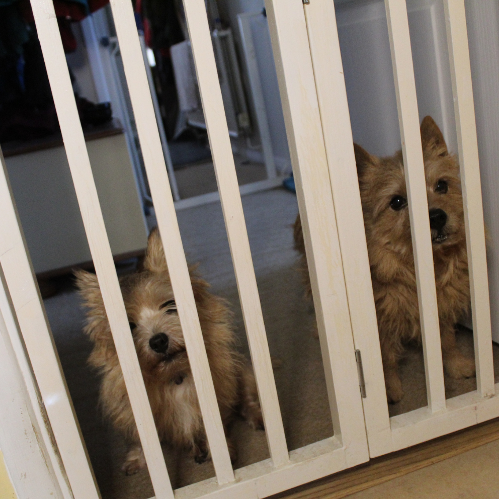 2 dogs behind baby gates