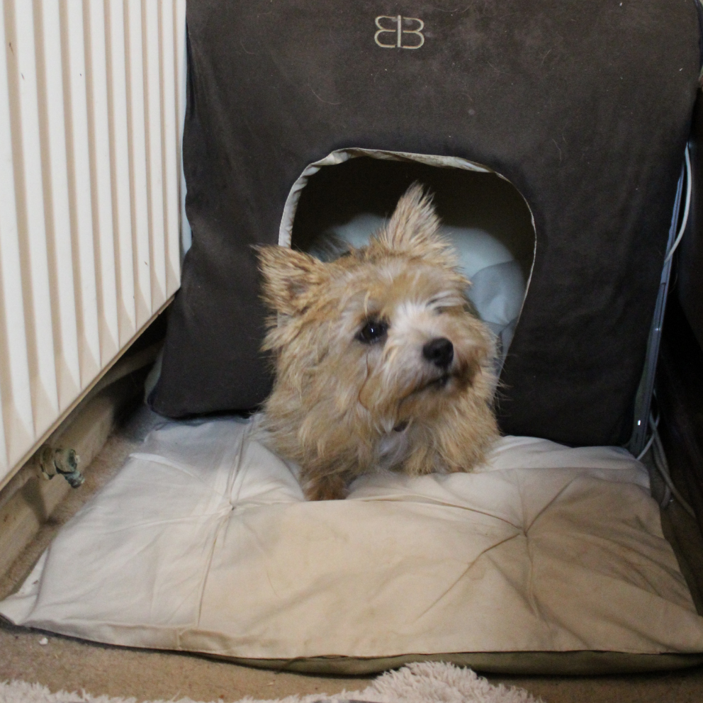 Ripley the dog cosy in his bed with cushion and blanket.