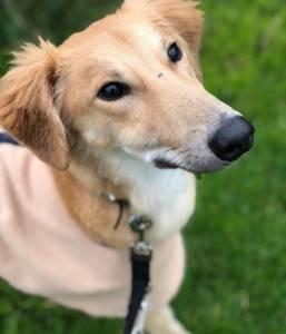Bingo - Male Saluki Cross - Saluki Dogs For Adoption