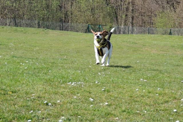 Beagle Image
