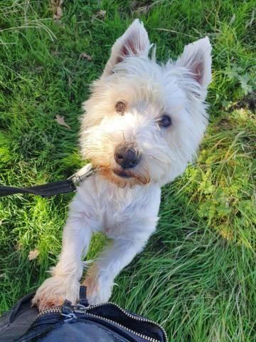 West Highland White Terrier Image