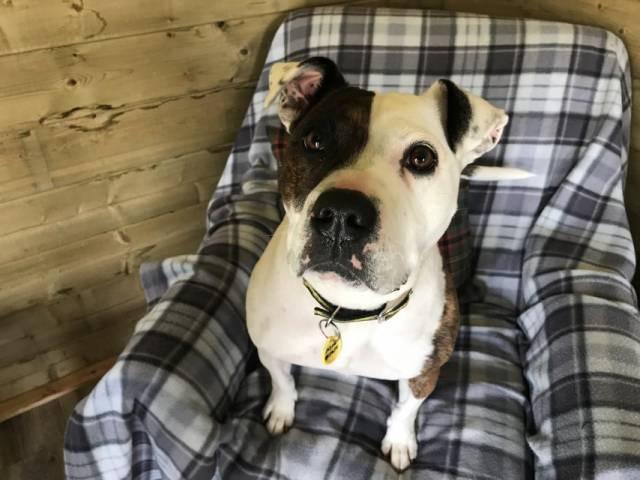 Staffordshire Bull Terrier Image