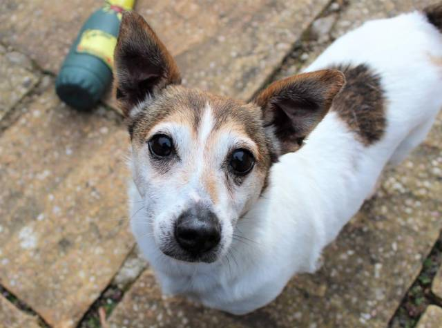 Jack Russell Terrier Image