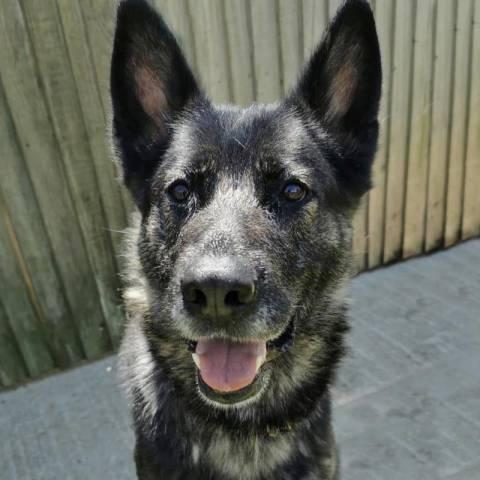 German Shepherd Dog Image