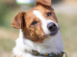 Bentley - Male Jack Russell Terrier Type Photo