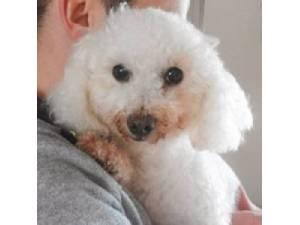 Bichon Frise Rescue Dogs in Carmarthenshire   Petlist