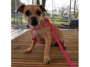 Nutmeg Female Jug Jack Russell Terrier Cross Pug Jack Russell