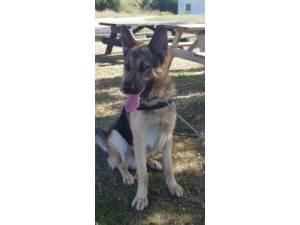 REX - Male German Shepherd Dog Photo