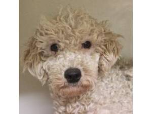 Poodle Rescue Dogs in the United Kingdom | Petlist