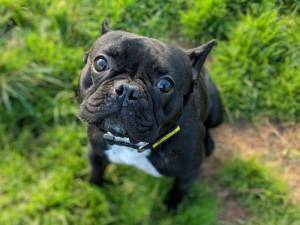 French Bulldog Rescue Dogs in Lincoln | Petlist