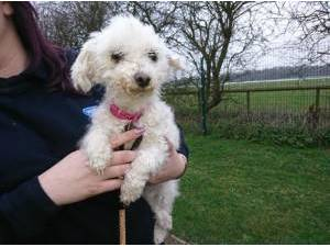 Bichon Frise Rescue Dogs in Cleethorpes   Petlist