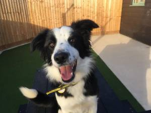 Collie Rescue Dogs in Salisbury | Petlist