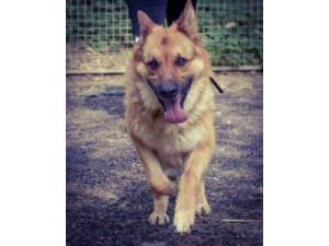 Deacon - Male German Shepherd Dog Photo