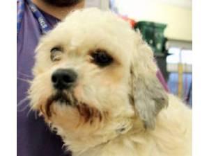 Shih Tzu Rescue Dogs in Devon   Petlist