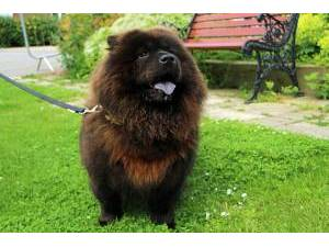 Chow Chow Rescue Dogs in Aberdeen | Petlist