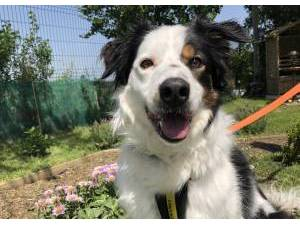 Border Collie Rescue Dogs in Herefordshire | Petlist
