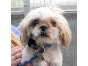 Shih Tzu Rescue Dogs in Devon | Petlist