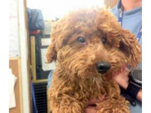 Poodle Rescue Dogs in Carmarthenshire   Petlist