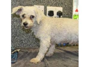 Bichon Frise Rescue Dogs in the United Kingdom   Petlist