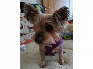 Toby - Male Yorkshire Terrier Photo