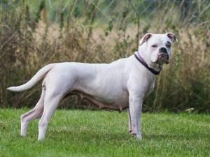 Mildred - Female Bulldog Mix Photo