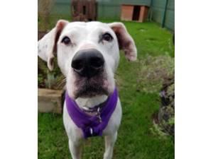 Buttons - Female American Bulldog Cross Photo