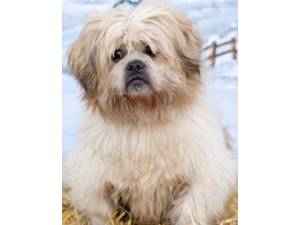 Ted - Male Shih Tzu Photo