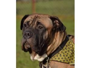 Bruno - Male Mastiff Cross Photo