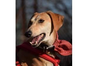 Remy - Male Lurcher Photo