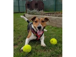 Diesel - Male Jack Russell Terrier Photo