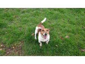 Kian - male Jack Russell Terrier Photo