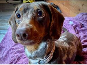 Navigation - Dachshund (Smooth coat) Photo