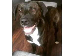Aubrey - Male Labrador Retriever Photo