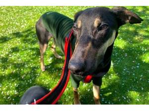 Smithers - Male Lurcher Photo