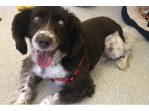Alfie - Male Spaniel (English Springer) Photo