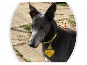 Danny - Male Lurcher Photo
