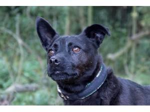 Monty - Male Patterdale Terrier Photo