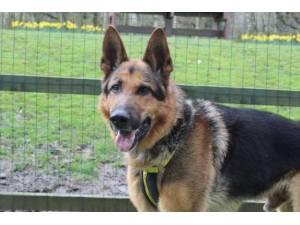 Maxi - Male German Shepherd Dog (GSD / Alsatian) Photo