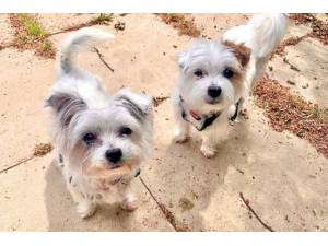 Reggie (& Bobby) - Male Terrier (West Highland) Photo