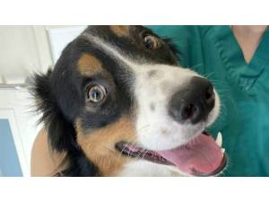 LUCKY - Male Collie: Border Photo