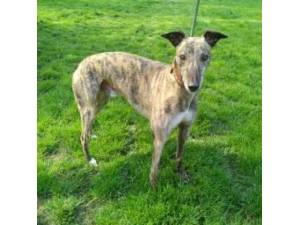 Prince - Greyhound Photo