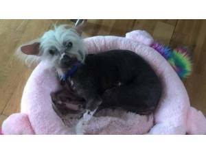 KINGY (& SPIKE) - Male Chinese Crested Photo