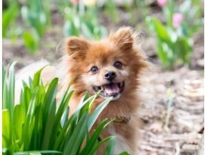 Bunny - Male Pomeranian Photo