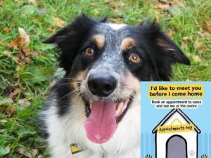 Charlie - Male Border Collie Photo