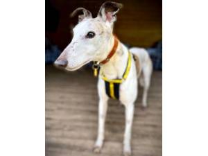 Lord Eric Longlegs - Male Greyhound Photo
