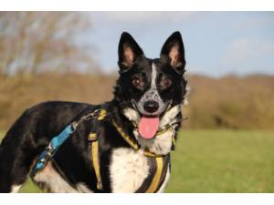 Marcus - Male Collie Cross (Border) Photo