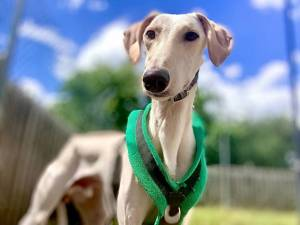 Sunny - Male Lurcher Photo